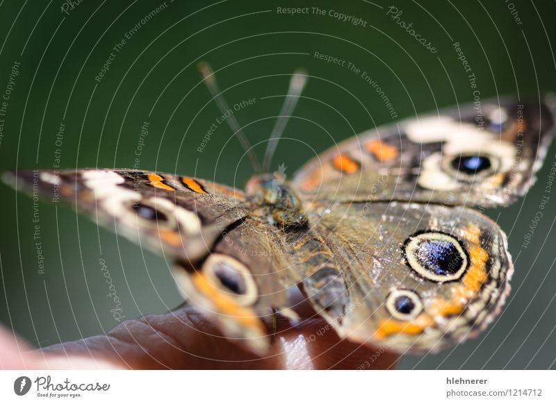 Common Buckeye Junonia Coenia Beautiful Summer Environment Nature Animal Flower Butterfly Wing Natural Blue Brown Yellow Green Black White Colour Symmetry