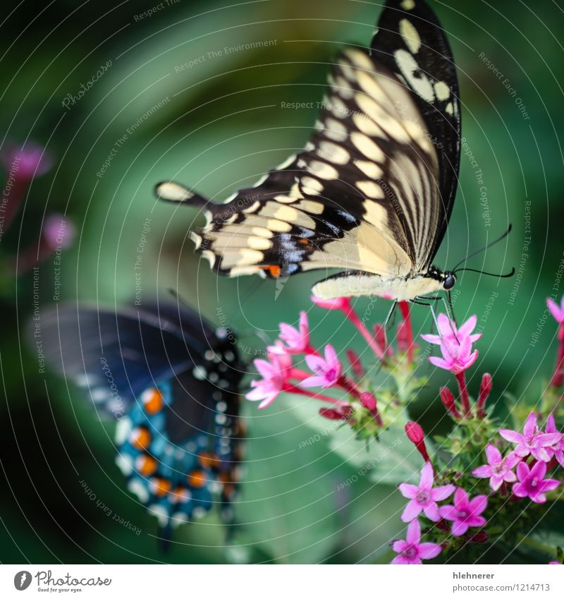 Giant Swallowtail Papilio Cresphontes Beautiful Calm Summer Environment Nature Plant Animal Flower Butterfly Feeding Natural Blue Yellow Green Red Black White