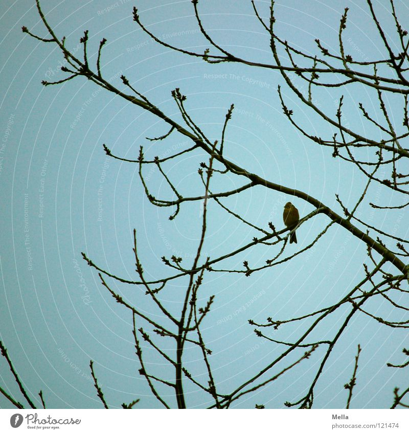 Finch winter II Bird Green finch Tree Bushes Branchage Crouch Loneliness Ornithology Curved Winter Winter activities Sky Twig Sit Looking Observe Blue