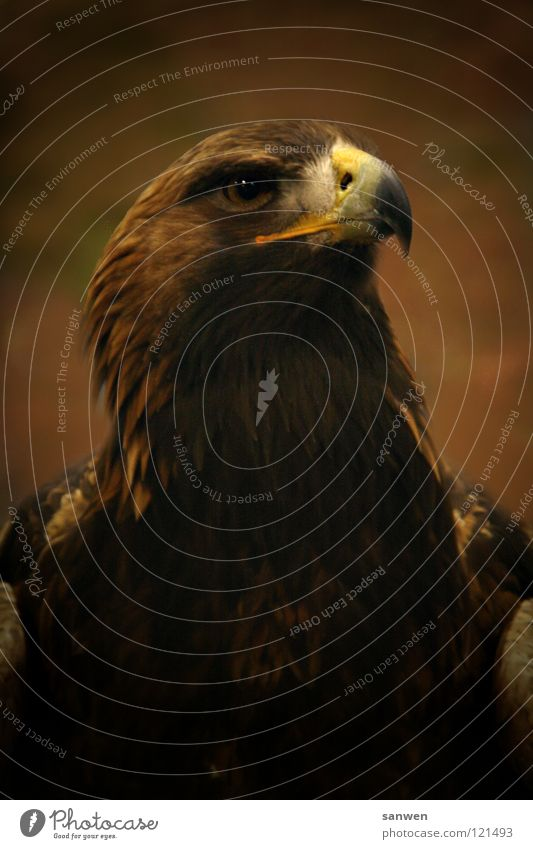 Beautiful Eyes Brown Bird Flying Large Aviation Feather Wing Noble Beak Graceful Eagle Impressive Bird of prey Heraldic animal