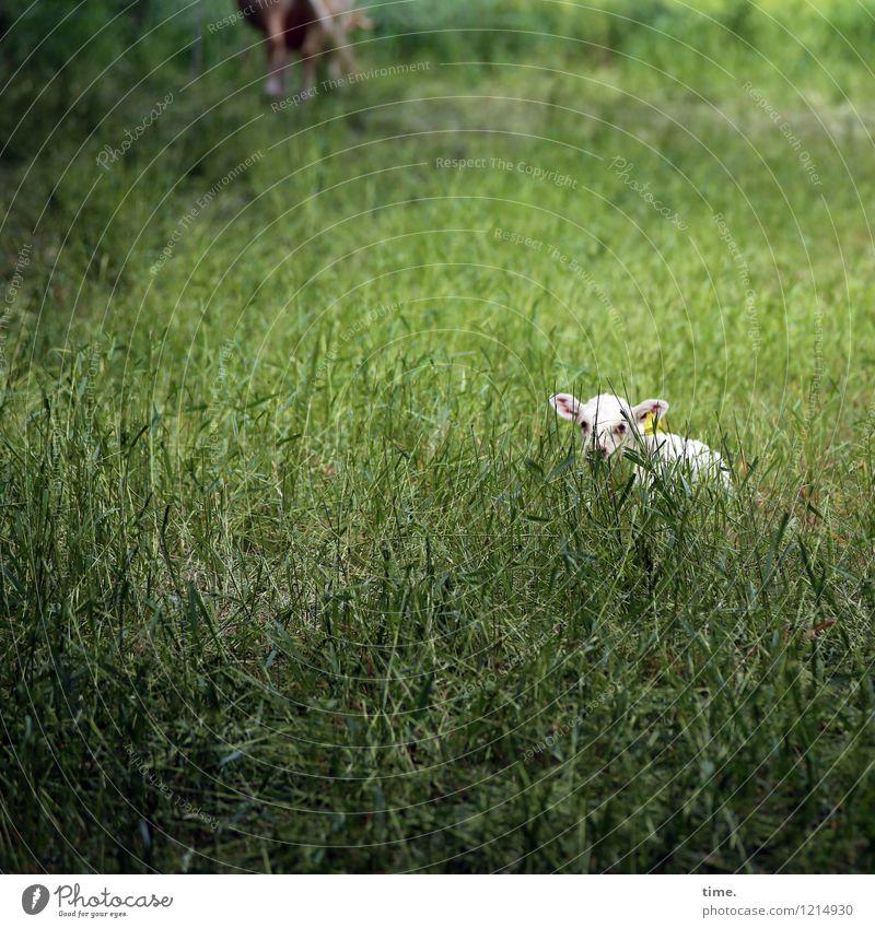 Spreedorado | Kinderstube Meadow Pasture Animal Farm animal Animal face Calf 1 Observe Lie Looking Wait Beautiful Watchfulness Serene Patient Calm Self Control