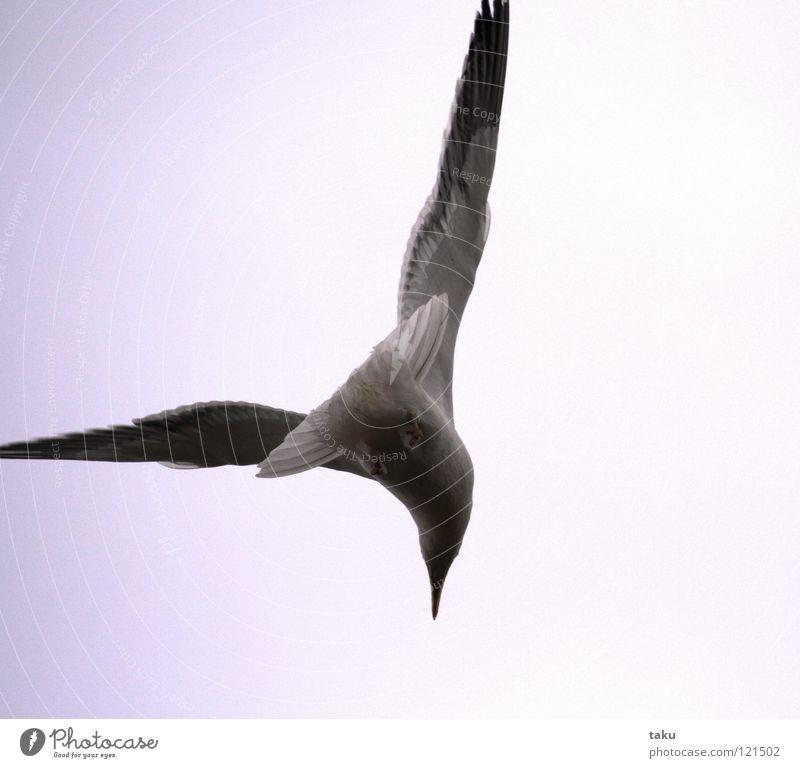 Ocean Beach Bird Waves Appetite Fishing (Angle) Surf Loud New Zealand Hissing Black-headed gull  Nosedive