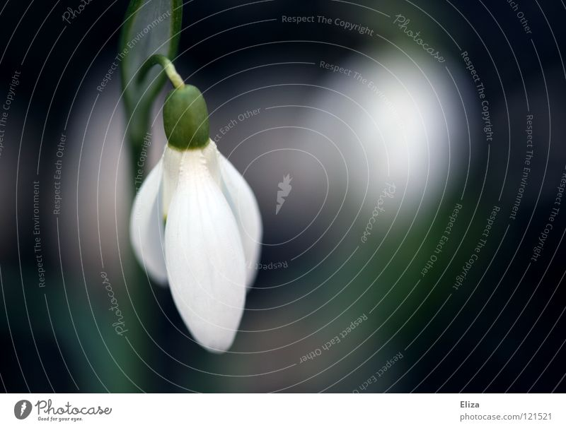 Nature Green White Flower Cold Spring Blossom Small Blossoming Delicate Pure Violet Stalk Blossom leave March February