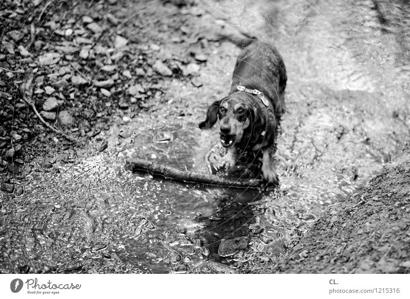 the nonplusultra Leisure and hobbies Environment Nature Elements Earth Water Branch Stick Forest Animal Pet Dog Dachshund 1 Movement Playing Dirty Joy