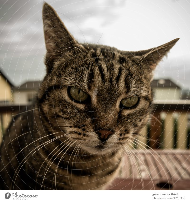 Cat pricks up her ears Animal Pet Pelt 1 Observe Relaxation Looking Sit Brown Yellow Gold Cat's head Cat eyes Balcony Colour photo Multicoloured Exterior shot