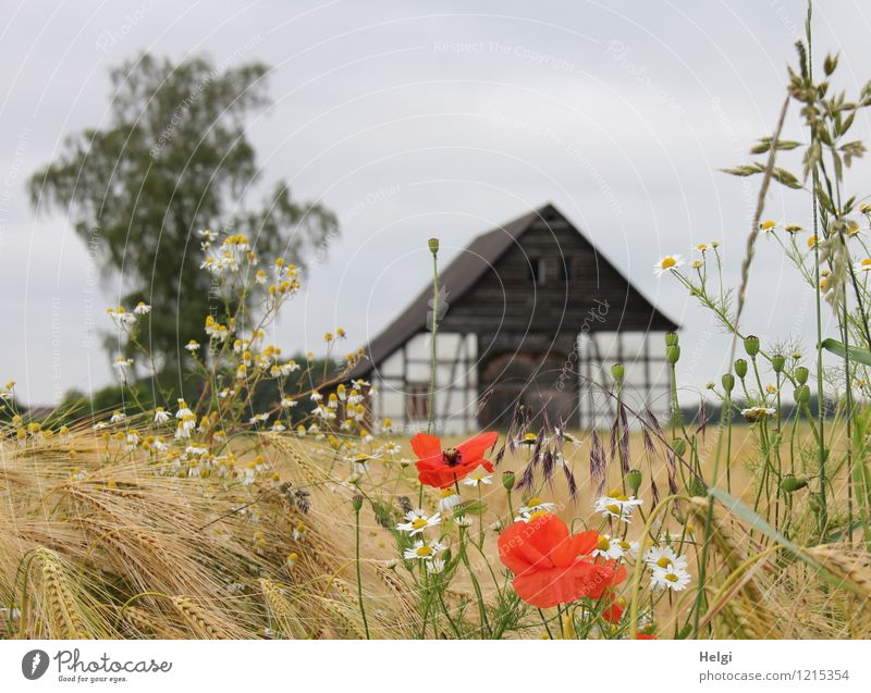Summer in the country... Environment Nature Landscape Plant Sky Beautiful weather Tree Flower Blossom Grain Barley Field Village Deserted Building