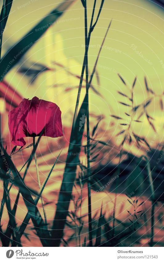 Gecrosster Poppy Seed Flower Flower meadow Meadow Spring