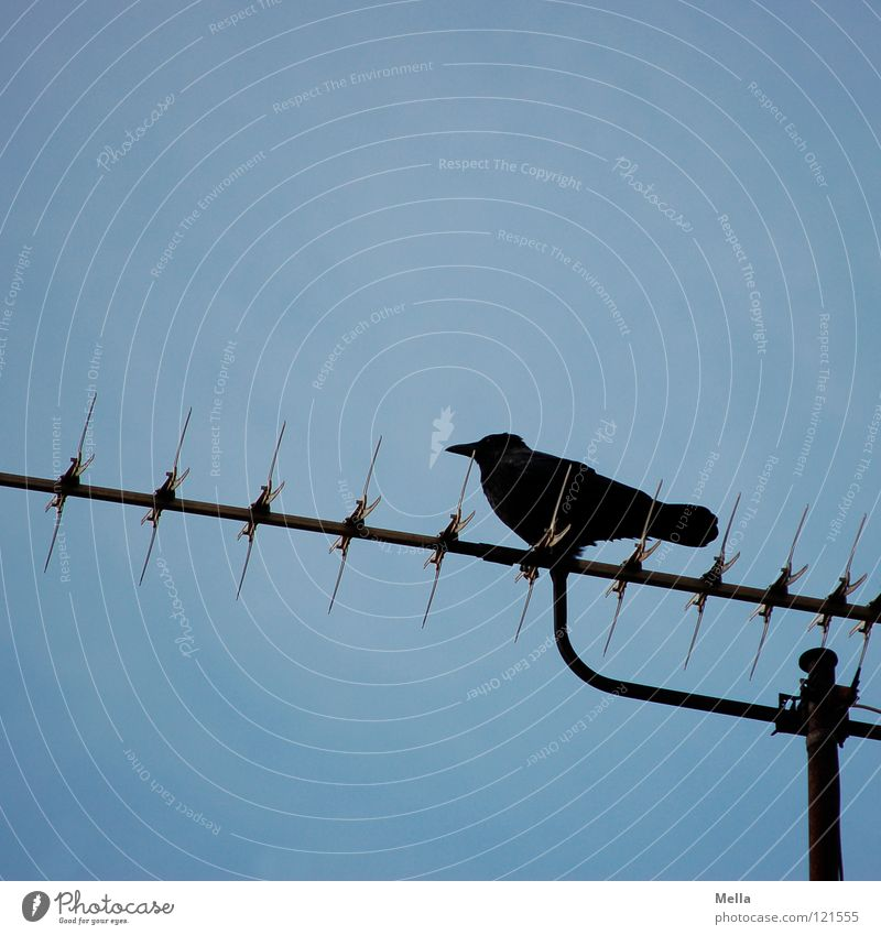 Sky Blue Black Above Bird Tall Sit Technology Communicate Vantage point Antenna Crouch Raven birds Crow Review Electrical equipment