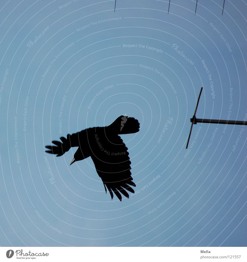 Sky Blue Black Bird Flying Aviation Technology Feather Wing Antenna Timidity Departure Scare Raven birds Crow Flee