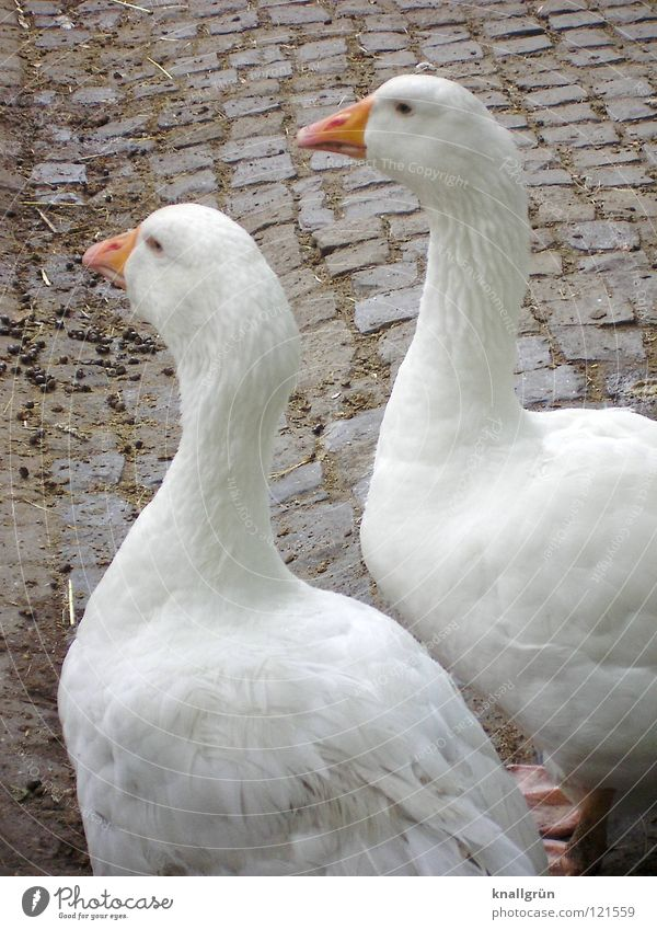 together forever Goose 2 White Feather Zoo Enclosure Bird Anserinae waterfowl Orange
