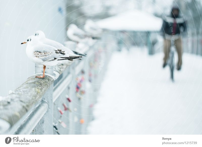 in winter Masculine 1 Human being Winter Snow Bridge Animal Seagull 4 Gray White Cycling Winter mood Exterior shot Copy Space right Copy Space bottom Twilight