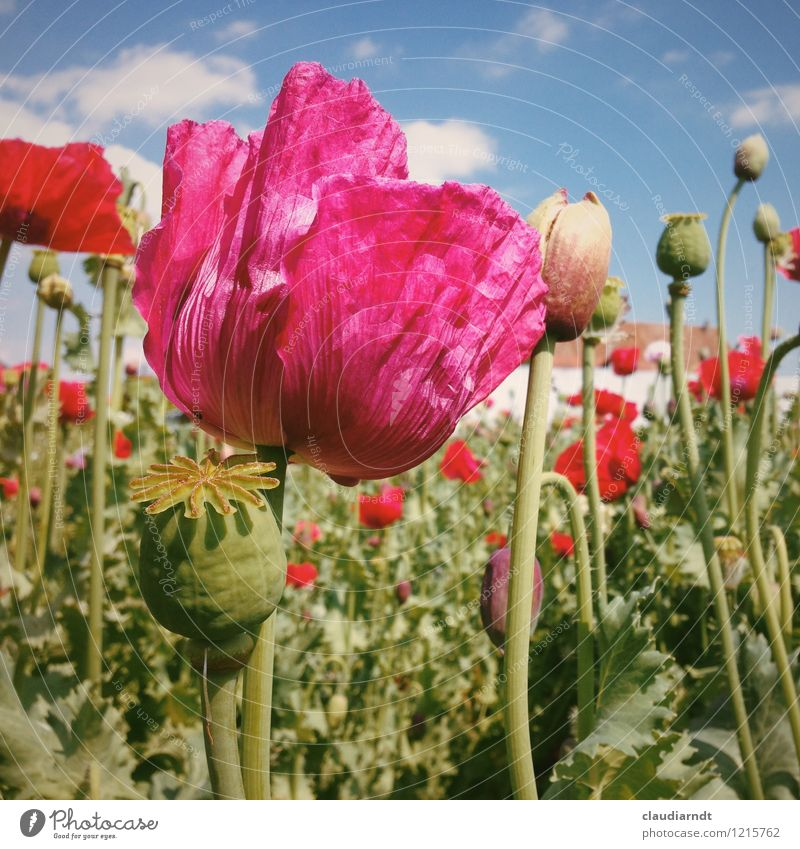 Sky Nature Plant Beautiful Summer Sun Flower Red Environment Blossom Garden Pink Field Blossoming Beautiful weather Poppy