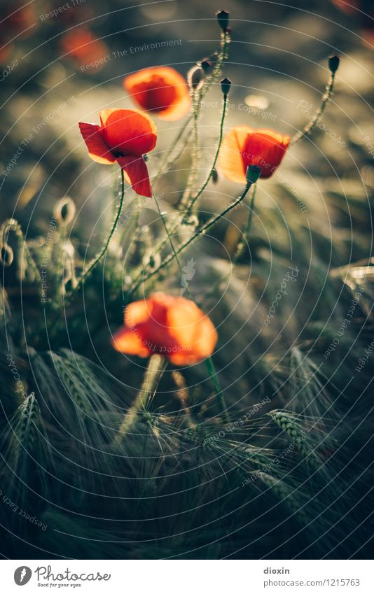 Nature Plant Flower Environment Warmth Blossom Natural Field Blossoming Grain Fragrance Poppy Agricultural crop Wild plant Grain field Rye