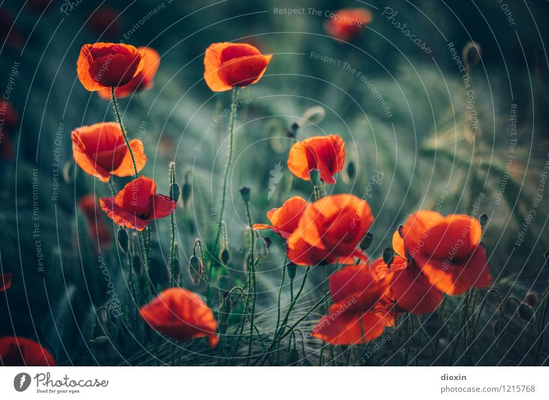 Spreedorado | poppy amour Environment Nature Plant Flower Blossom Agricultural crop Wild plant Poppy Poppy blossom Poppy field Rye Rye field Rye ear Field