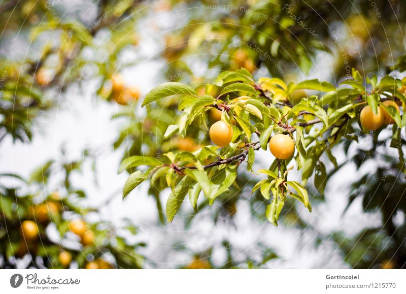 yellow fruit Summer Tree Agricultural crop Yellow Green Yellow plum Fruit Fruit trees Sweet Leaf Colour photo Exterior shot Deserted Shallow depth of field