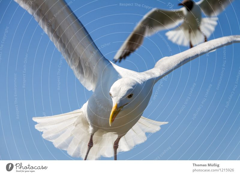 gulls Baltic Sea Flying Hunting Blue Gray White Love of animals Beautiful Ease Mobility Binz on Rügen Dominican Gull Feather Larus dominikanus black-backed gull