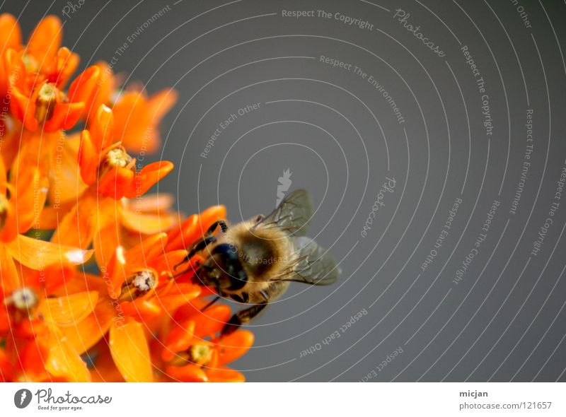 Flower Loneliness Animal Gray Small Blossom Background picture Orange Flying Sit Dangerous Nutrition Individual Threat Bee Insect