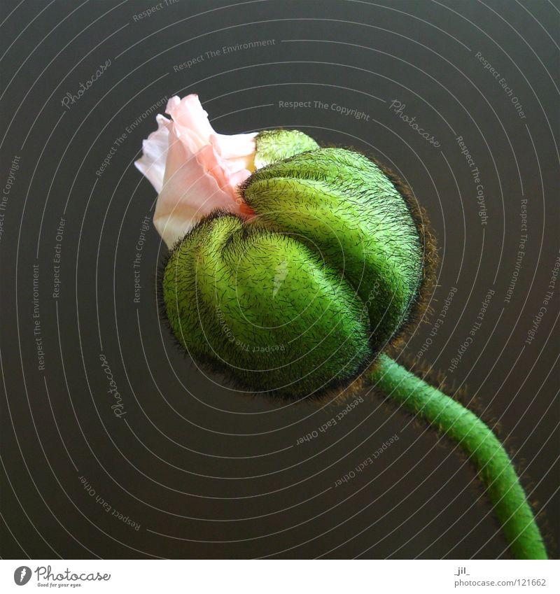 Beautiful Flower Green Gray Pink Round Poppy Poppy blossom Khaki