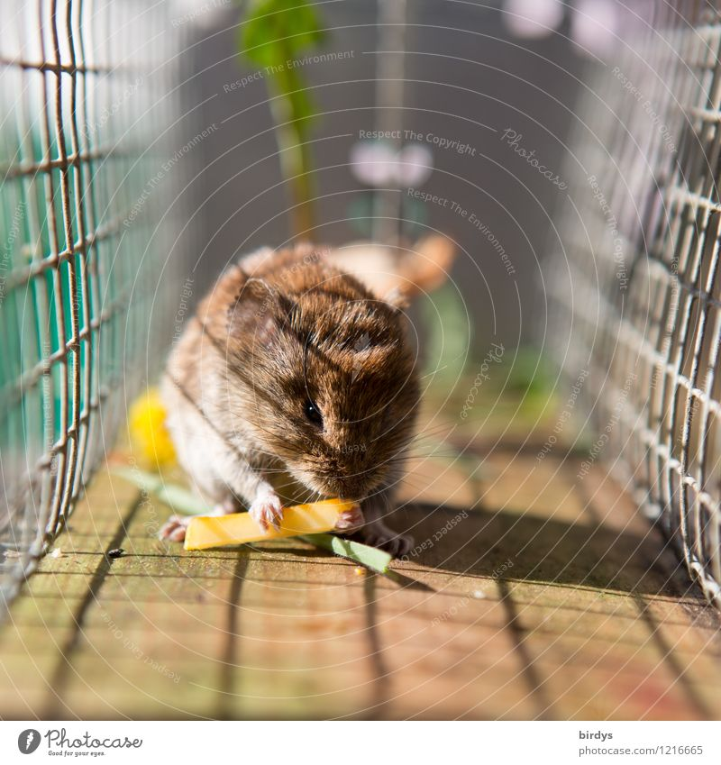 in the trap Cheese Wild animal Mouse 1 Animal Mouse trap Grating Mesh grid To feed Cute Authentic Voracious Serene Adversity Captured Colour photo Exterior shot