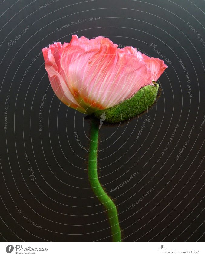 Beautiful Flower Green Gray Orange Pink Open Poppy Deploy Poppy blossom Khaki