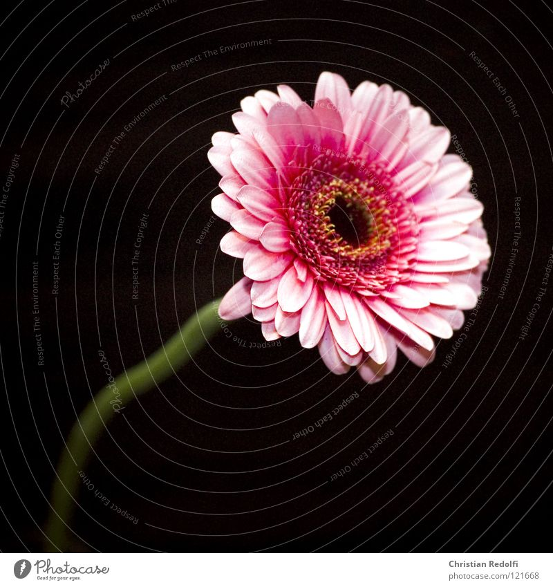 Flower Black Blossom Spring Small Pink Africa Blossom leave Gerbera Flower stem