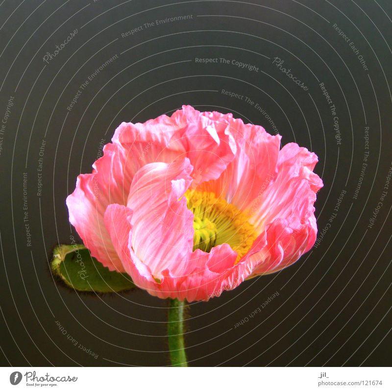 Beautiful Flower Green Yellow Gray Orange Pink Open Poppy Deploy Poppy blossom Khaki