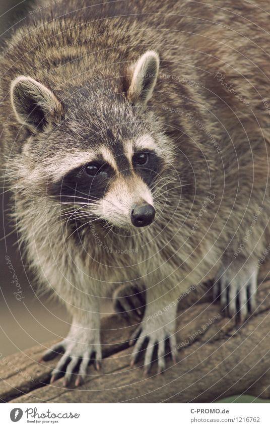 Animal Wild animal Pelt Hunting Raccoon