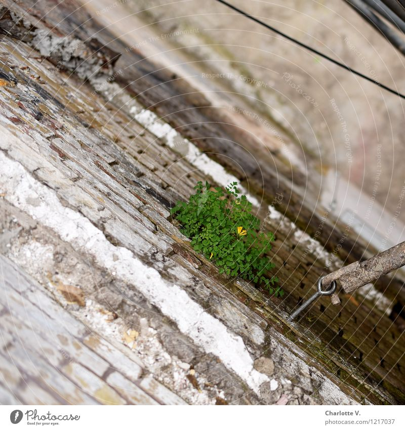 mauerBLÜMCHEN Nature Plant Summer Leaf Blossom Wild plant peppercorn Ruin Manmade structures Building Brewery Wall (barrier) Wall (building) Facade Brick Cable