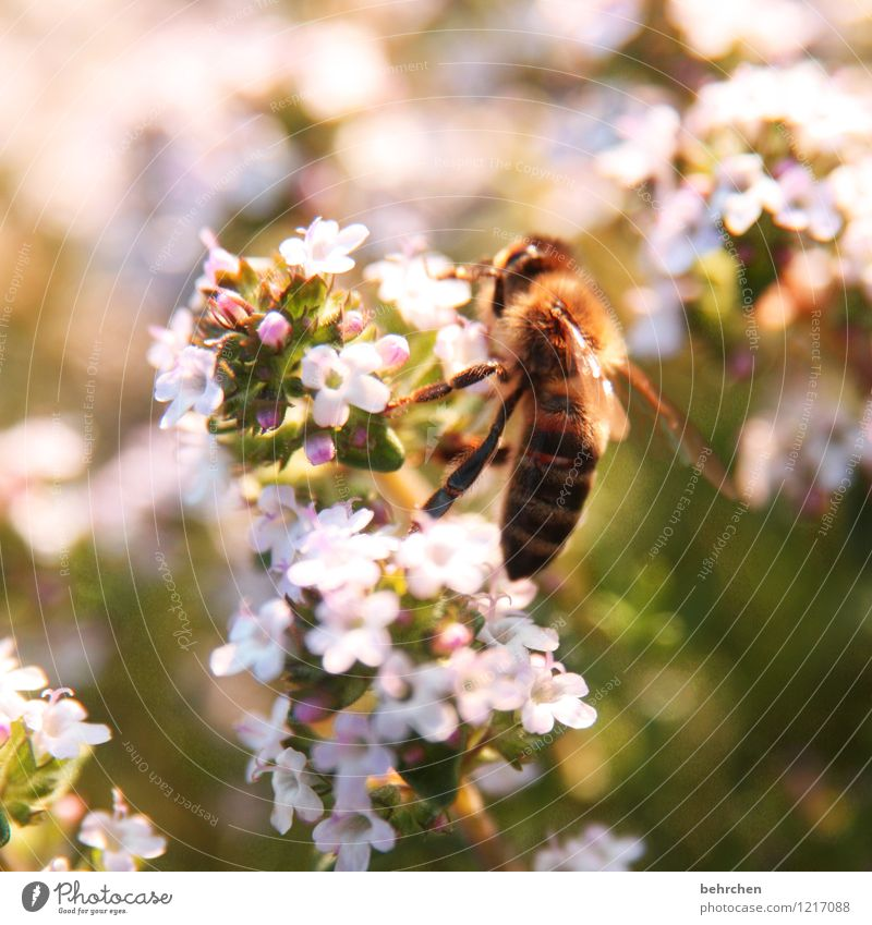save the bees Plant Animal Spring Summer Beautiful weather Flower Leaf Blossom Thyme Garden Bee Wing Blossoming Flying Growth Brown Green Pink Honey Diligent