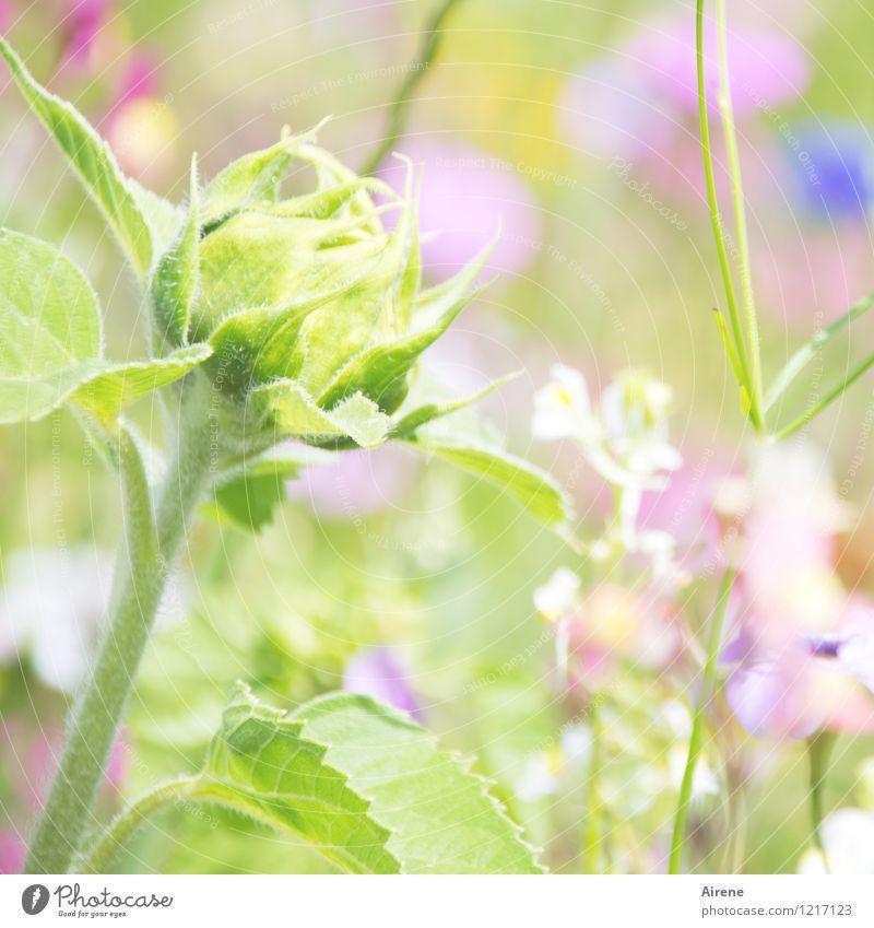 Dream on... Plant Flower Bud Sunflower Meadow flower Flower meadow Blossoming Growth Friendliness Bright Green Pink Beginning Nature Bright green Light green