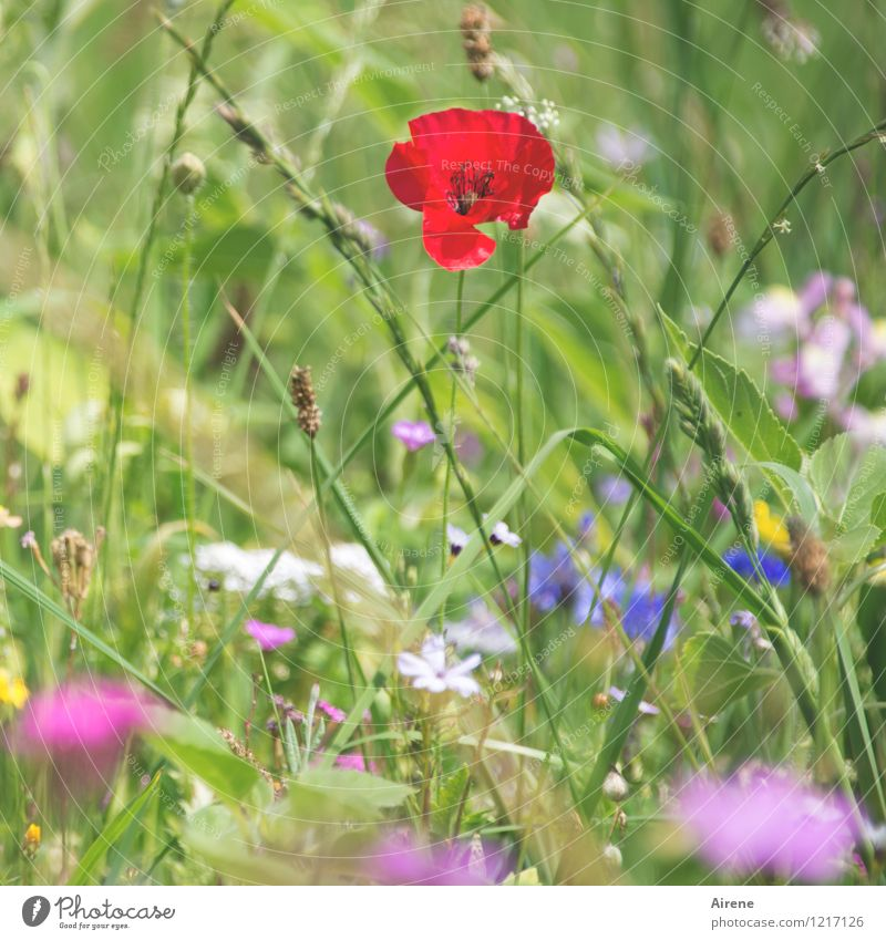 eye-catchers Plant Flower Meadow flower Poppy blossom Flower meadow Blossoming Growth Friendliness Bright Multicoloured Green Pink Red Colour Nature