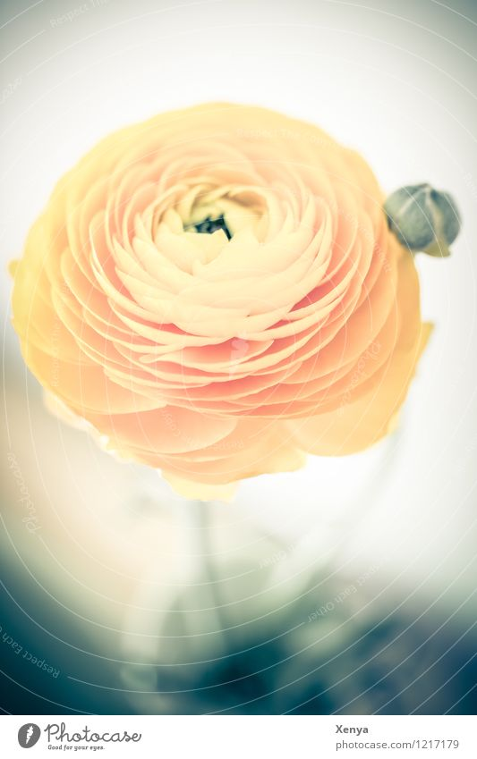 ranunculus Environment Nature Plant flowers Tulip flaked bleed Blossoming Esthetic Yellow Orange Romance Round Buttercup Dreamily Colour photo Deserted