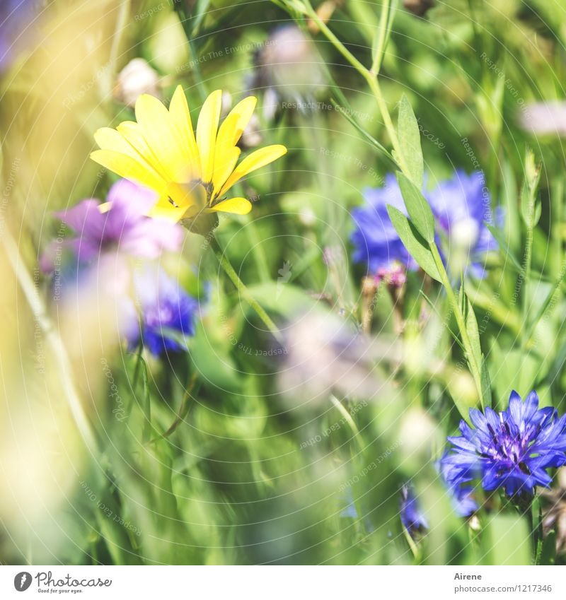 Nature Blue Plant Green Flower Yellow Meadow Bright Growth Blossoming Friendliness Flower meadow Meadow flower