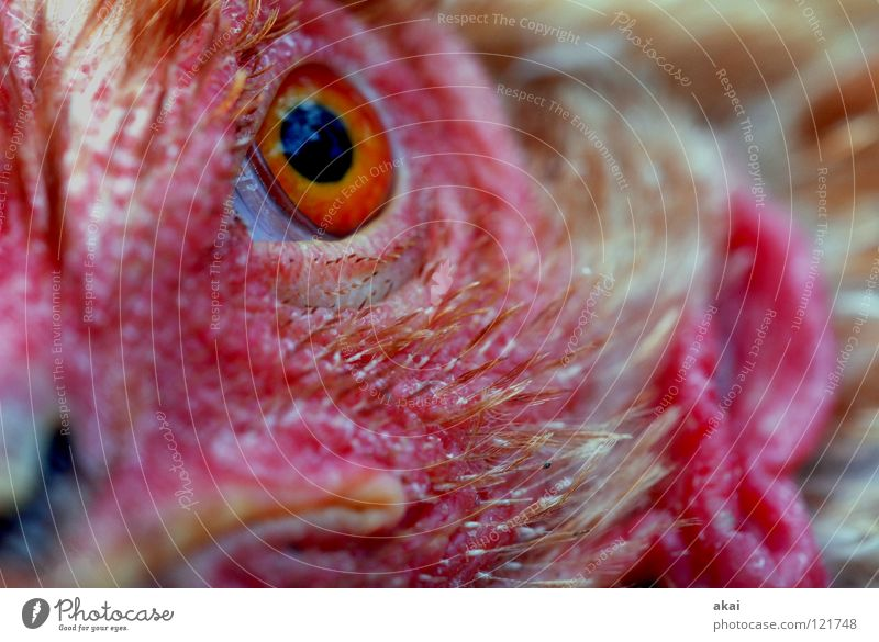 Don't look like that! Animal Feed To feed Nutrition Barn fowl Watchfulness Testing & Control Hunter Hunting Fear Macro (Extreme close-up) Close-up Sacrifice