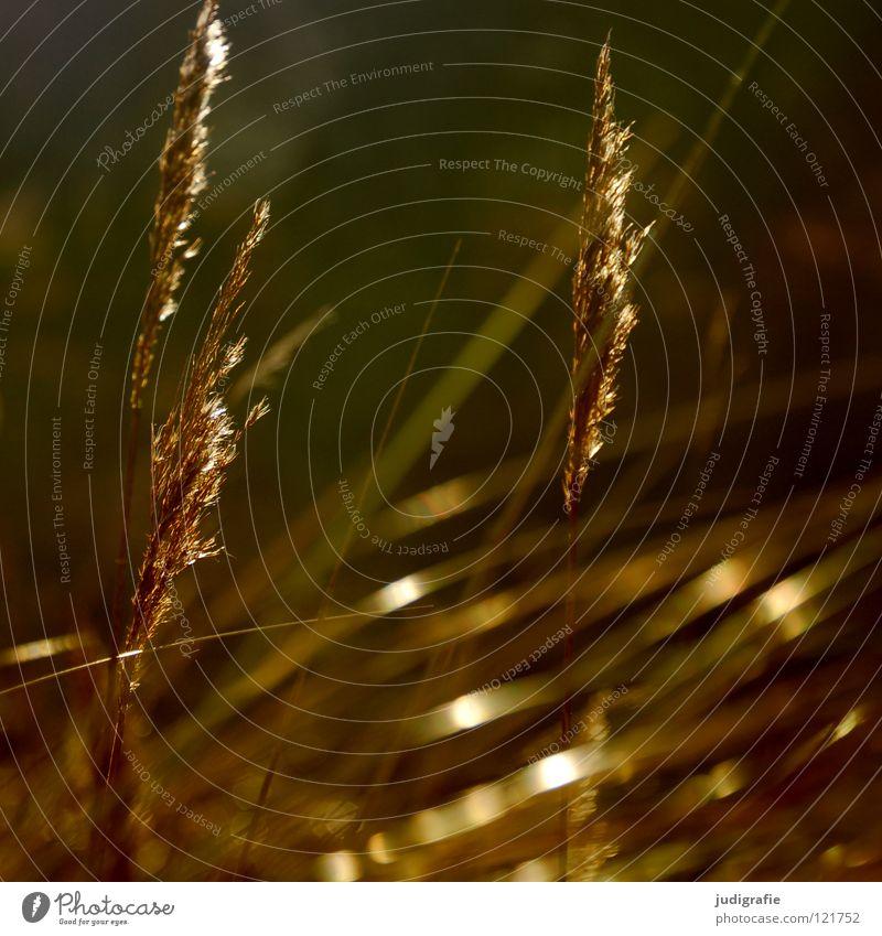 grass Grass Light Green Stalk Blade of grass Ear of corn Glittering Beautiful Soft Hissing Meadow Delicate Flexible Sensitive Pennate Plant Colour Pollen risp