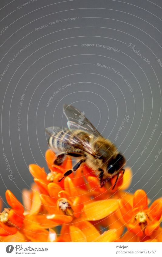 Flower Loneliness Animal Gray Small Blossom Background picture Work and employment Orange Flying Sit Dangerous Nutrition Individual Threat Bee