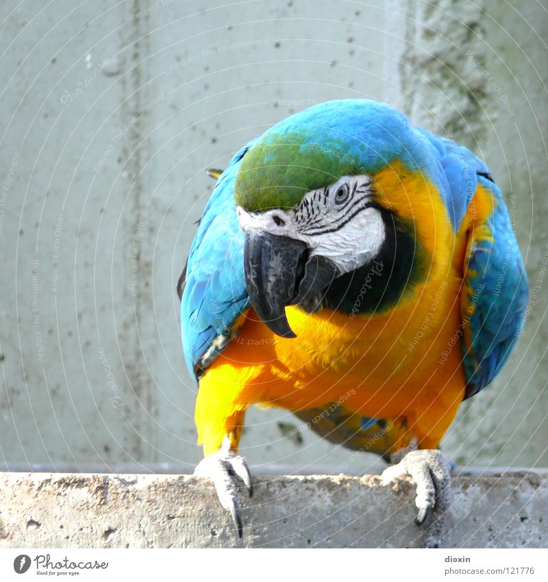 Blue Yellow Bird Flying Concrete Wing Feather Zoo Cuba Turquoise Virgin forest Beak Captured South America Brazil Bolivia