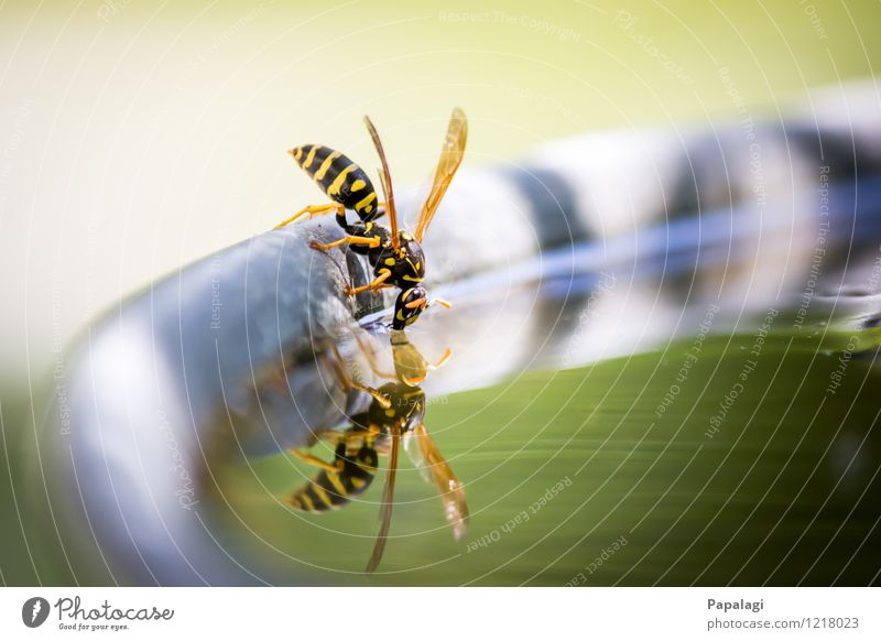 Thirst I Environment Nature Water Summer Beautiful weather Garden Pond Animal Wild animal Wasps Insect 1 Flying Drinking Yellow Green Relaxation Thirsty