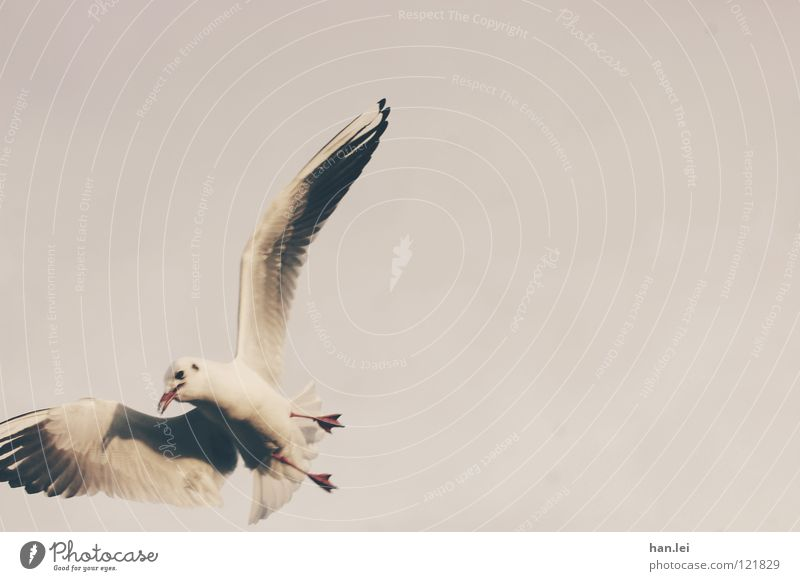 Seagull 2 Sailing Aviation Animal Bird Wing Flying Feather snaps Colour photo Exterior shot Copy Space right Day Animal portrait