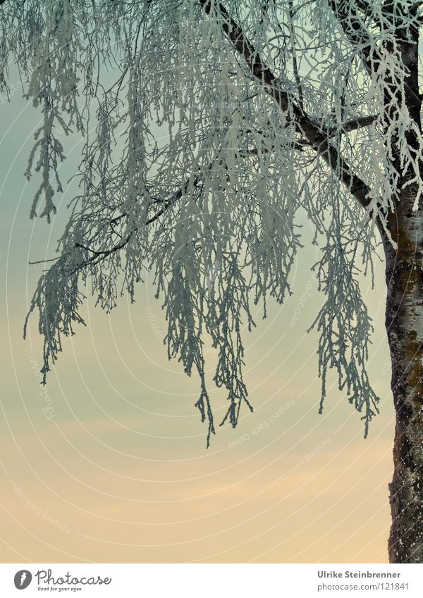Iced branches of a birch tree in front of the evening sky Colour photo Exterior shot Morning Sunrise Sunset Winter Snow Plant Sky Frost Freeze hang Fresh chill