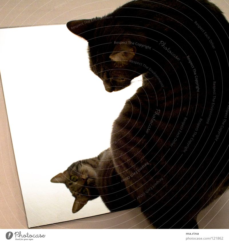 Green Dark Cat Bright Observe Mirror Mammal Motionless Mirror image Domestic cat Jinxed Cat eyes