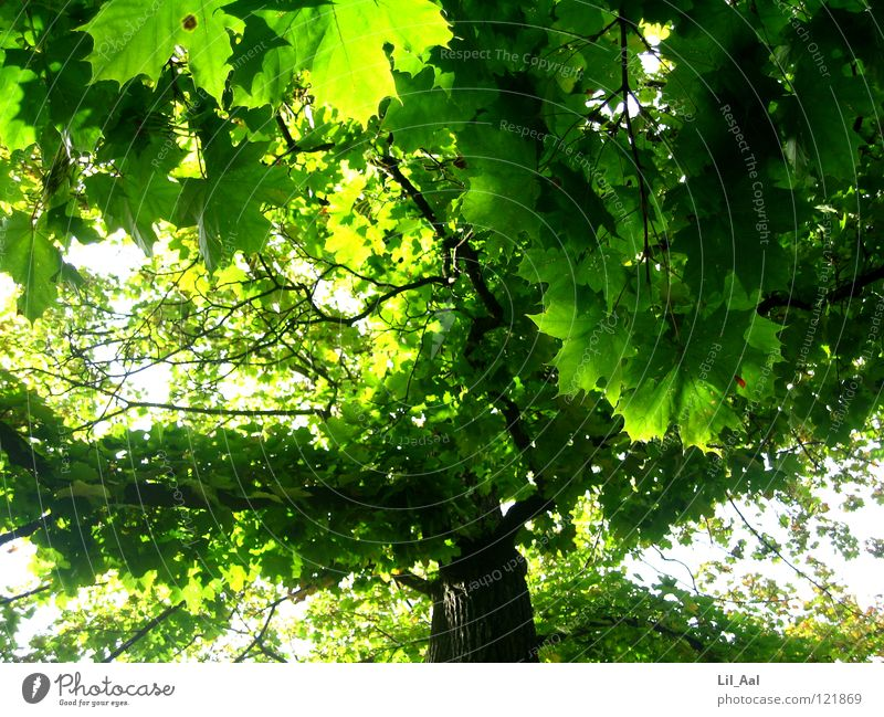 Nature Beautiful Tree Green Summer Leaf Happy Warmth Bright Large Might Physics Branch Hot Smooth Treetop