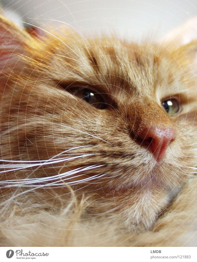 Cat Red Animal Orange Mouth Nose Ear Pelt Facial hair Watchfulness Pet Mammal Cuddly Pride Domestic cat Heavy