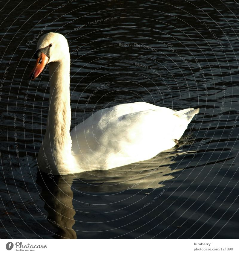 Nature Water Animal Lake Park Bird Feather Wing Swan