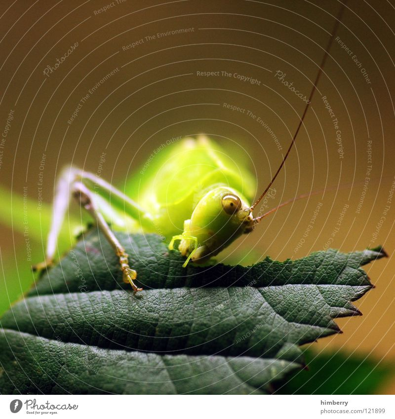 Nature Green Leaf Nutrition Animal Lamp Jump Park Insect To hold on To feed Hop Salto Locust Pests House cricket