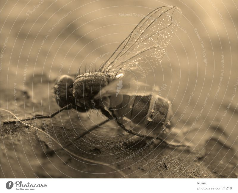 Death Fly Transport Insect Sepia