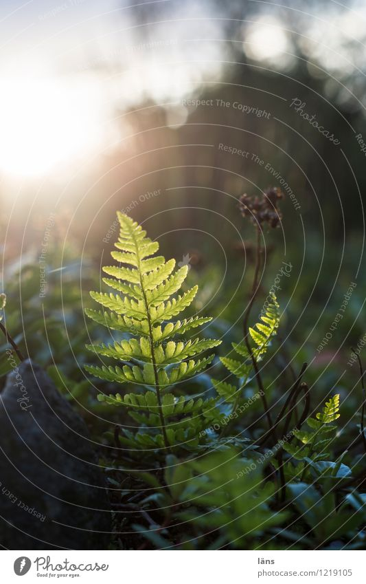 in the limelight l up Nature Fern Pteridopsida Light Shadow Sun Back-light