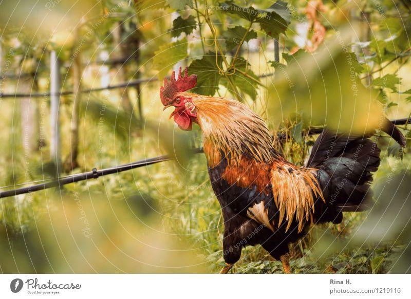 Animal To talk Bird Vine Pet Pride Country life Vineyard Rooster