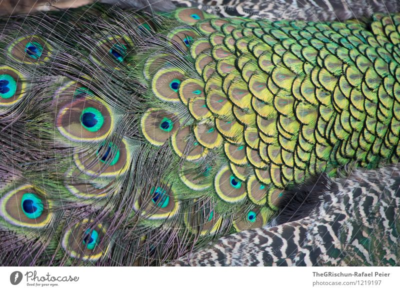 Elegant Animal Blue Brown Multicoloured Yellow Gold Gray Green Black Silver Turquoise White Peacock Peacock feather Metal coil Animalistic Eyes Swagger