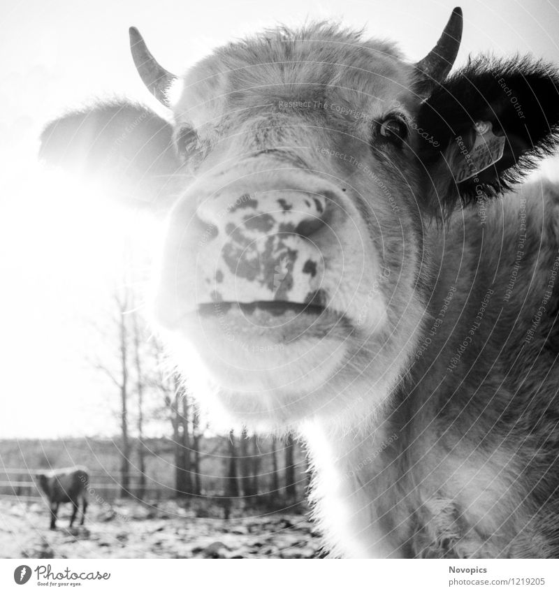 Cattle In Sun Food Meat Milk Agriculture Forestry Nature Landscape Animal Winter Meadow Field Pet Farm animal Cow 2 Black White portrait Bull beef cattle